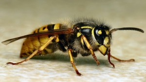 common_wasp_vespula_paravespula_vulgaris-by-martin-cooper