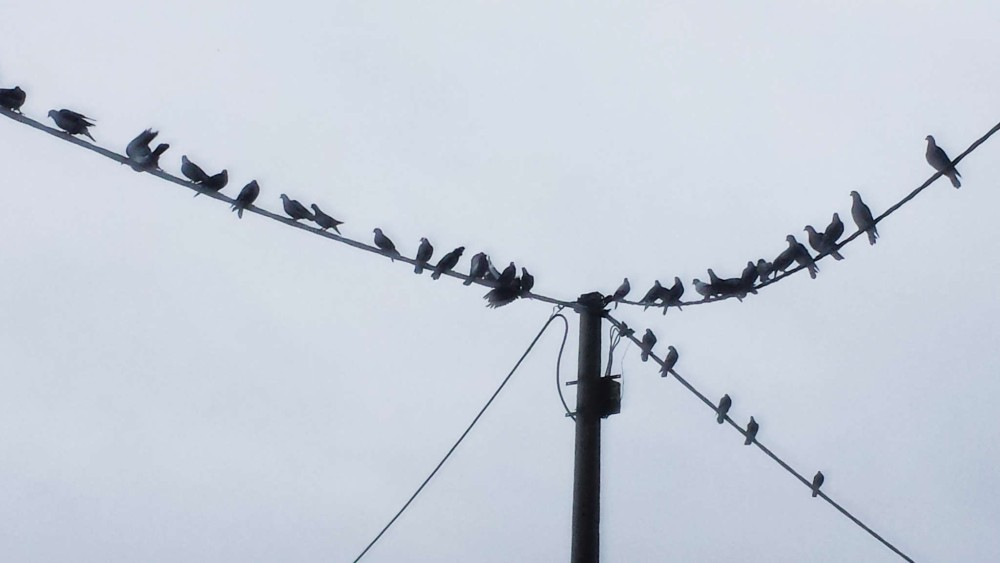 Birds on wires, Rothsay, North Shore
