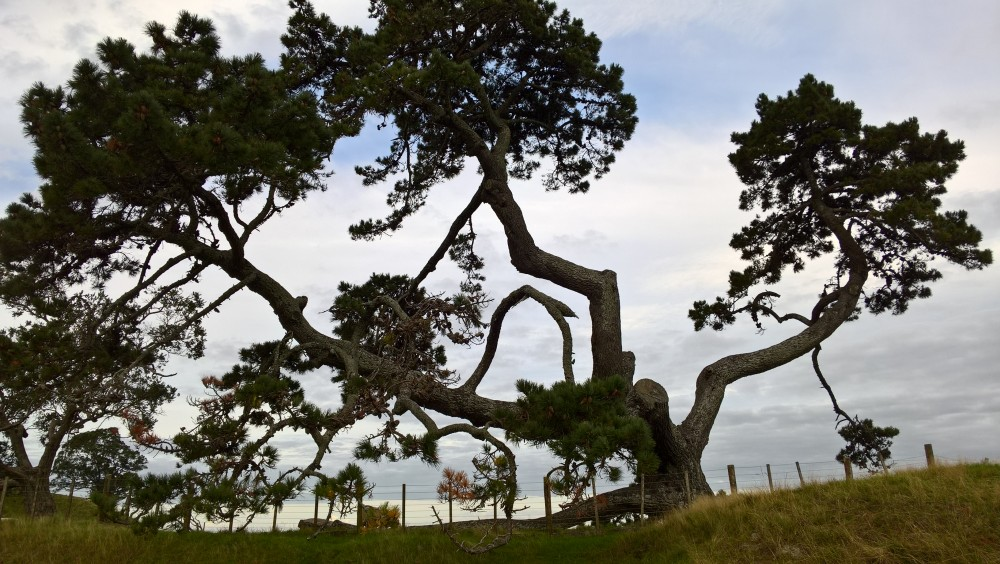 Pine tree on Maungakiekie / One Tree Hill